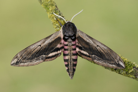 Privet Hawk Moth, Sphinx ligustri