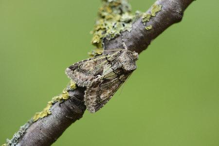 Green-brindled crescent, Allophyes oxyacanthae LANG_EVOIMAGES