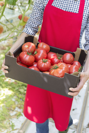 Woman in greenhouse carrying box with tomatoes