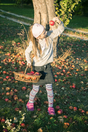 windfalls: Girl collecting windfalls on a meadow