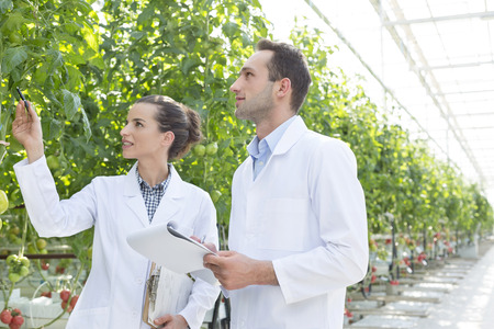 Two scientists in greenhouse examining tomato plant LANG_EVOIMAGES