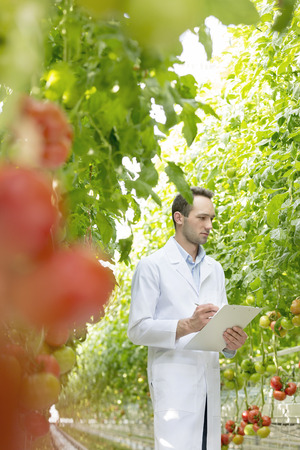 Scientist in greenhouse examining tomato plant