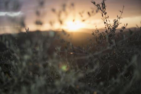 Italy, Tuscany, Maremma, olive trees at sunset
