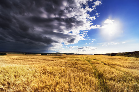 Scotland, East Lothian, Field of barley against the sun