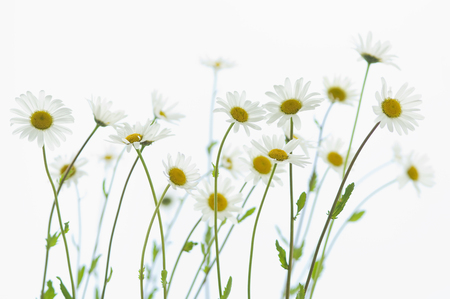 Marguerite blossoms, white background LANG_EVOIMAGES