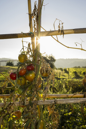 lighted: Italy, Tuscany, Maremma, tomatoes in vegetable garden