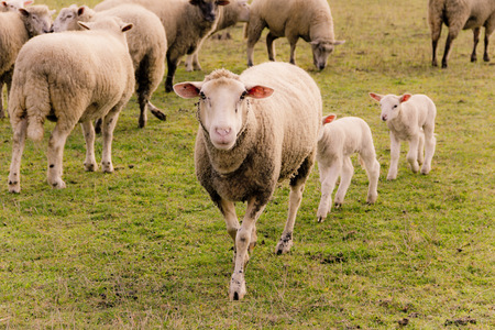 Flock of sheep with lambs on a pasture