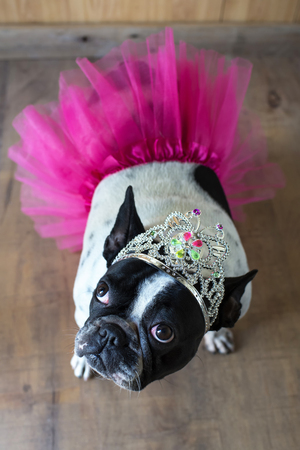 Portrait of French Bulldog dressed up as princess