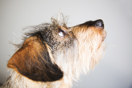 Portrait of wire-haired dachshund LANG_EVOIMAGES