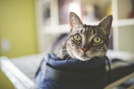 Portrait of a tabby cat lying in a little bag at home