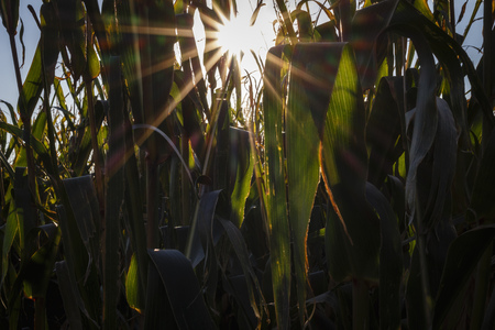 lighted: Maize plants on a field at backlight