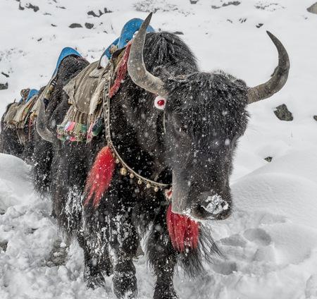 Nepal, Himalaya, Khumbu, Dughla, yaks in snowfall LANG_EVOIMAGES