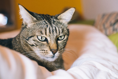 Interior room: Portrait of tabby cat lying on bed LANG_EVOIMAGES