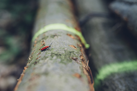 Germany, Saxony, Cardinal beetle Pyrochroa Coccinea on log