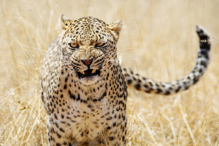 Leopard with aggressive expression