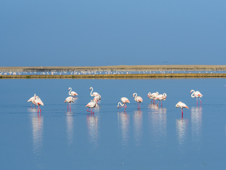 Namibia, Swakopmund Region, pink flamingos standing in the water LANG_EVOIMAGES