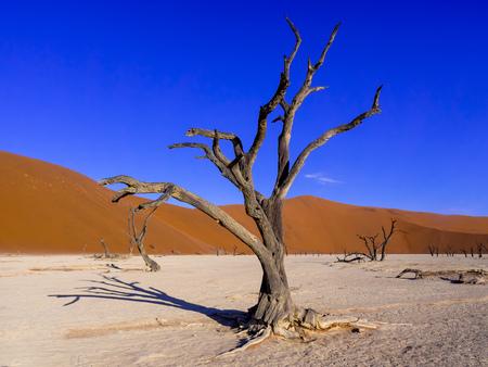 clime: Namibia, Namib Naukluft, Dead Vlei, dead camel thorns in front of desert dune