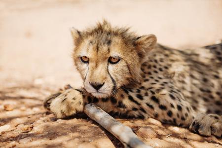 cheetah cub: Namibia, portrait of cheetah cub