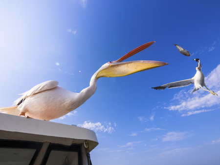 Namibia, Erongo Province, white pelican standing on top of a boat catching a fish