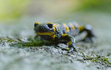 salamandre: Salamandre sur un rocher