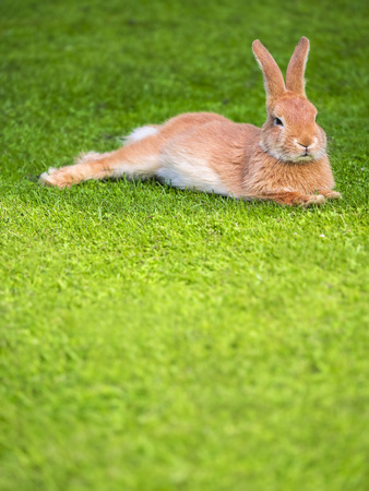 leporidae: Lazy rabbit lying on a meadow