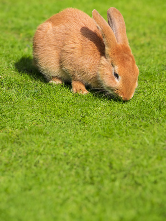 leporidae: Rabbit on a meadow