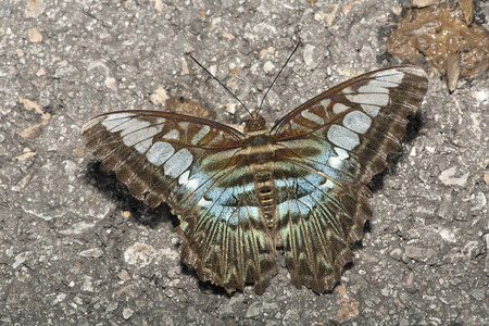 swallowtails: Blue Clipper, Parthenos sylvia LANG_EVOIMAGES