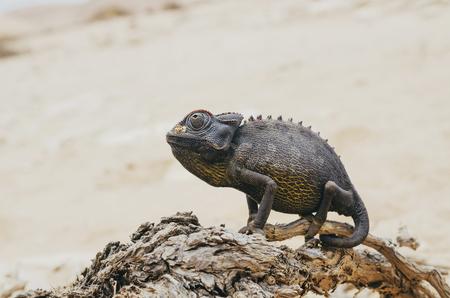 Namibia, Namib desert, Swakopmund, Namaqua Chameleon on a bush branch in the desert