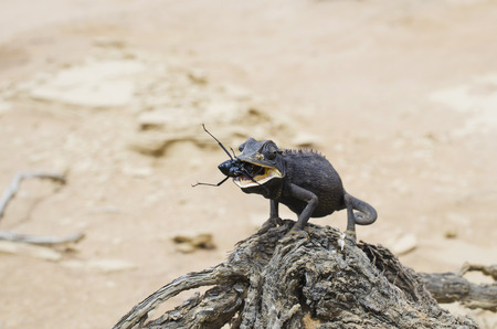 Namibia, Namib desert, Swakopmund, Namaqua Chameleon eating a beetle in the desert
