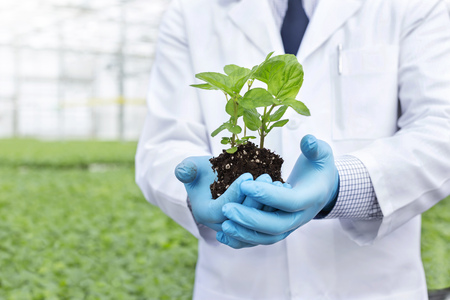 Scientist in greenhouse holding herbal plant