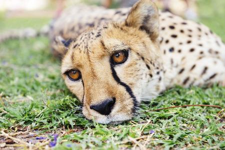 Namibia, Kamanjab, cheetah lying in the grass