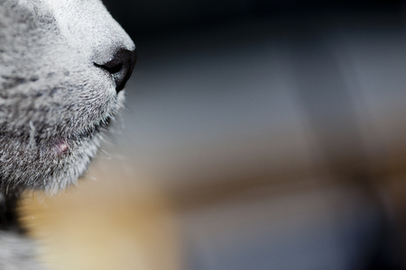 nose close up: Mouth of grey cat, close-up LANG_EVOIMAGES