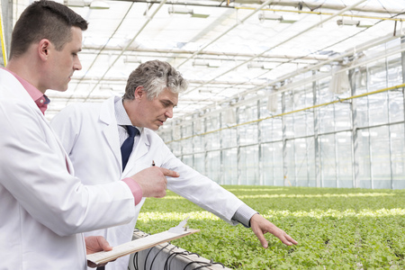 Two scientists in greenhouse examining mint plants