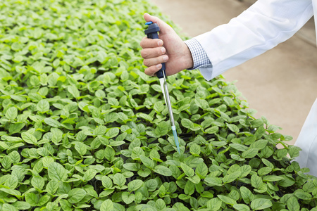 pipeta: Scientist in greenhouse pipetting basil plants