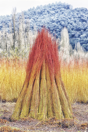 Spain, Cuenca, Wicker cultivation in Canamares in autumn LANG_EVOIMAGES