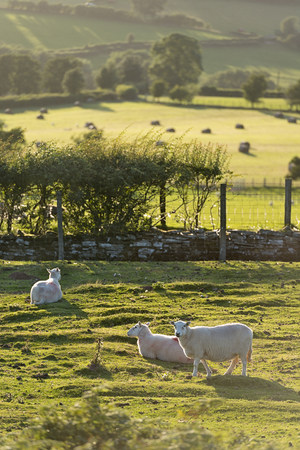 UK, Wales, Brecon and Beacons National Park, Sheep on green pasture