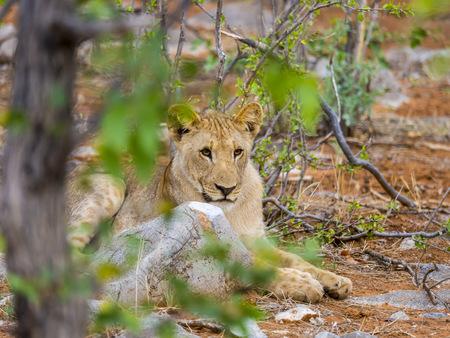 Namibia, Okaukuejo, Etosha Nationalpark, young lion LANG_EVOIMAGES