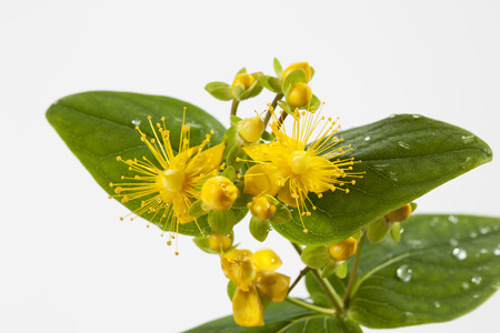 tracheophyta: Wet perforate St Johns-wort in front of white background, close-up