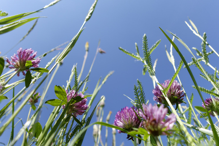 trifolium: Red clover on a meadow in front of blue sky seen from below LANG_EVOIMAGES