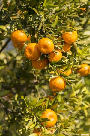 Sicily, Noto, organic tangerines, tree