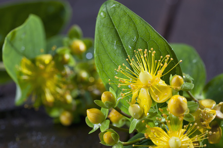 complementary therapies: Wet perforate St Johns-wort, close-up