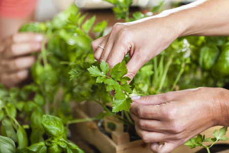 plucking: Hands plucking leaves from herbs
