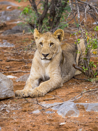 Namibia, Okaukuejo, Etosha Nationalpark, portrait of young lioness