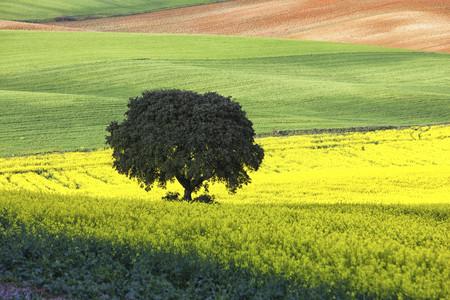 canola: Spain, Castile-La Mancha, rape field in Guadalajara
