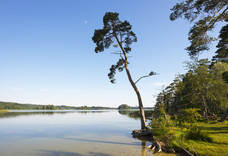 Germany, Bavaria, Fuenfseenland, Lake Ostersee, Scots pine on the waterside