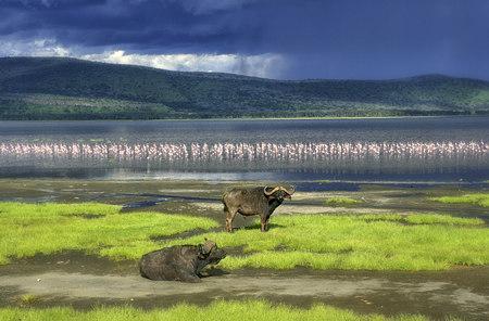 nakuru: Kenya, Lake Nakuru National Park, two Cape buffalos in front of Lake Nakuru LANG_EVOIMAGES