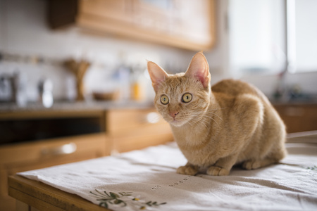 Portrait of starring cat sitting on kitchen table LANG_EVOIMAGES