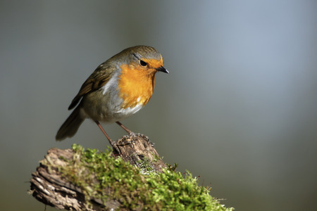 erithacus rubecula: European robin on a branch LANG_EVOIMAGES