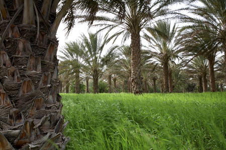 Tunisia, Grand Erg oriental, palm trees and grass at mountain oasis at the edge of Sahara