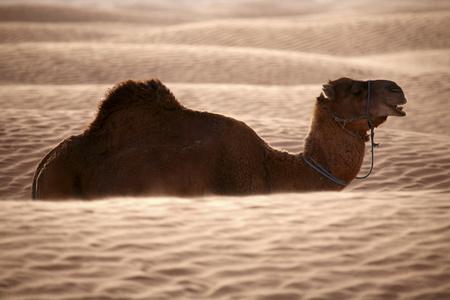 Tunisia, dromedary in the desert